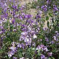 N_purple_wall_flowers