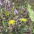 O_yellow_wall_flowers